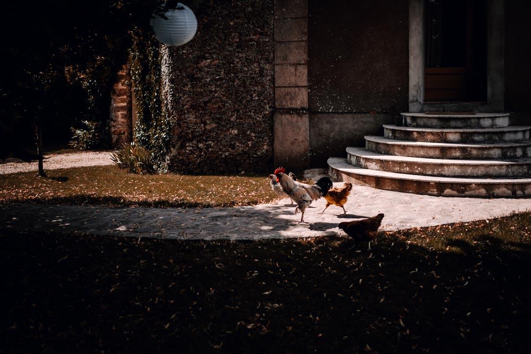 un coq et ses poules à la ferme d'armenon
